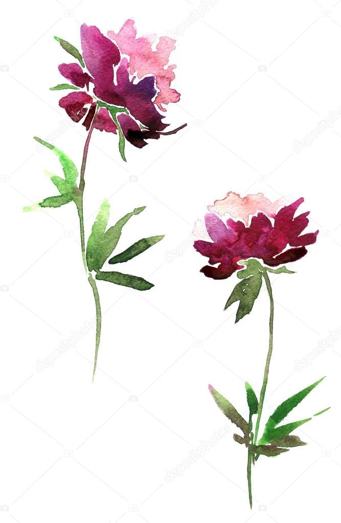 Fleurs De Pivoine Dessin Aquarelle Photographie