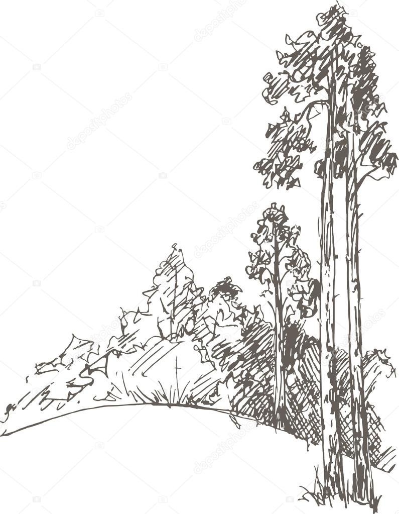 pine trees and forest