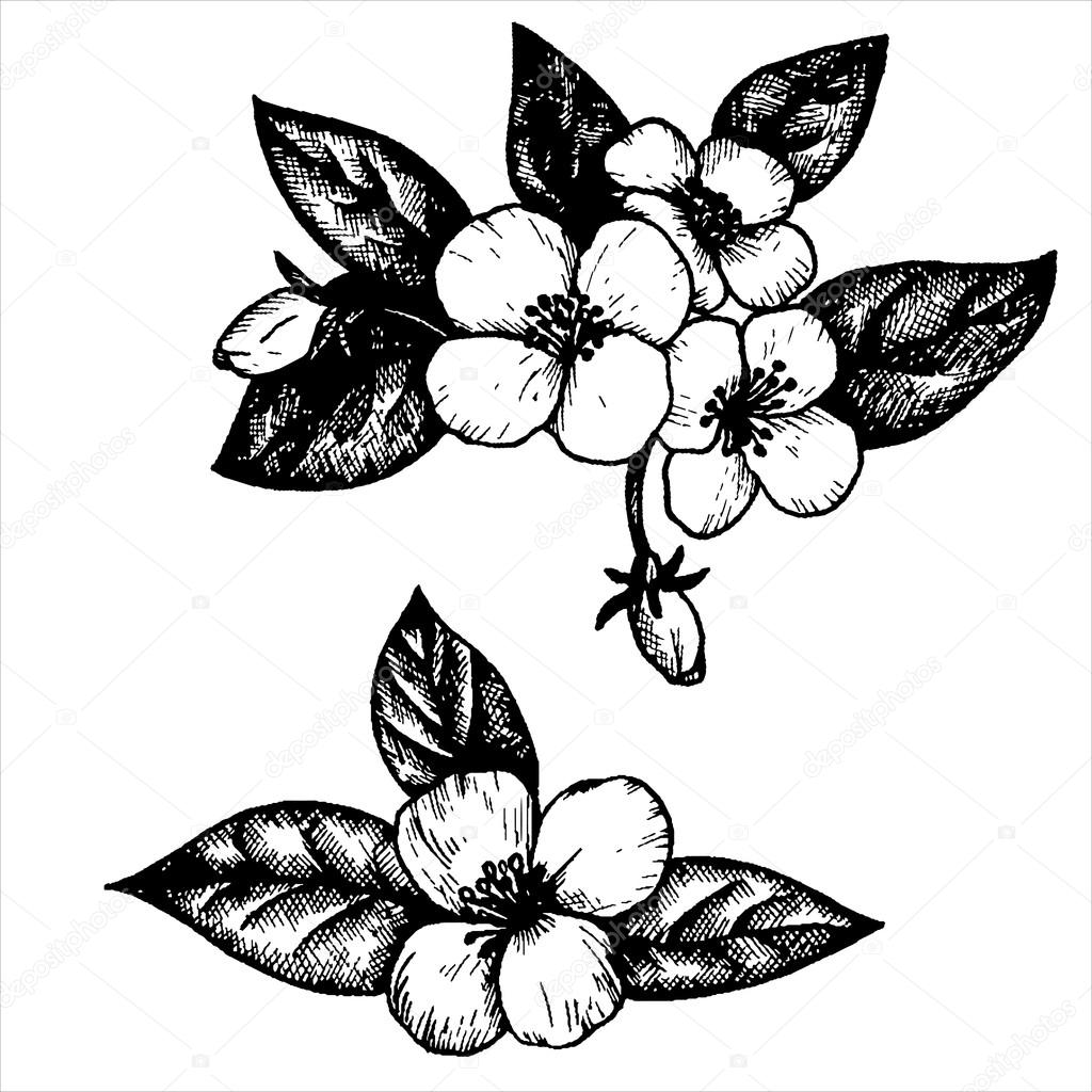 Line Drawing Jasmine Flower : Vector jasmine flowers — stock cat arch angel