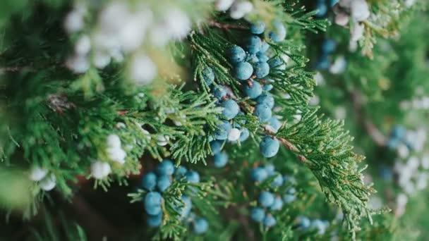 Větve zeleného jalovce s bobulemi, zima, detailní záběr jalovcových keřů, mělká hloubka pole, selektivní zaměření