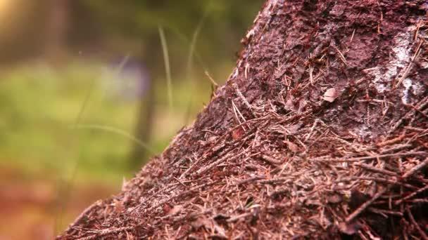 Ameisenkolonie im Wald