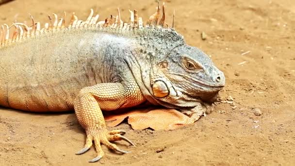 Iguana or lizard on yellow sand