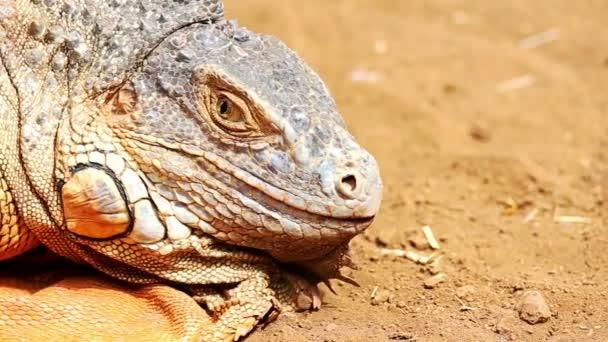 Closeup leguán nebo ještěrka hlavy na žlutého písku