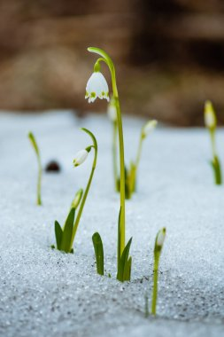 Snowdrops in the snow on the forest
