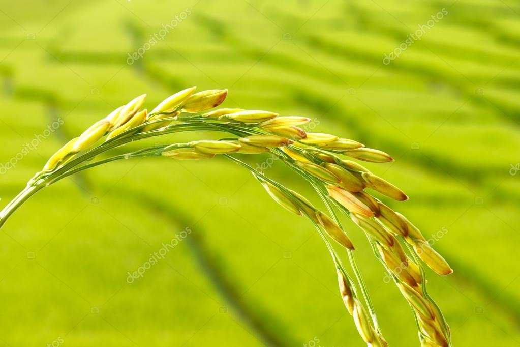 rice spikelet close up