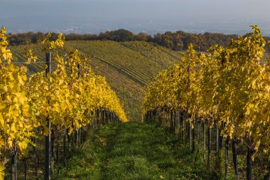 Colourful Leaves on Vineyard Plantations in Autumn