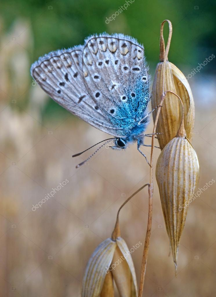Butterfly blues at the ripe oats