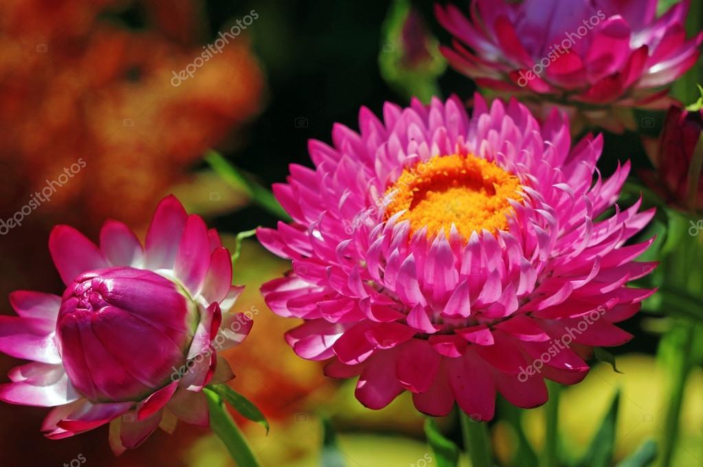 Helichrysum En El Jardin De Flores Siemprevivas Foto De Stock