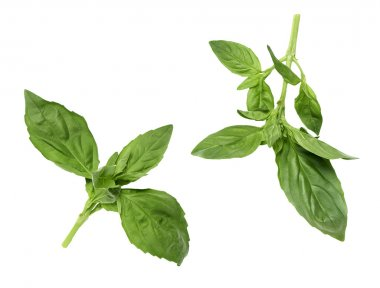 two pair of green basil leaves isolated on a white background without any shadow.