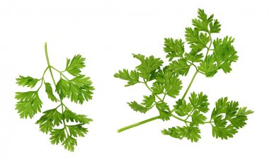 chervil leaves on a whtite background