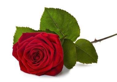 """Картина, постер, плакат, фотообои """"красная роза со стеблем """", артикул 71453711"""