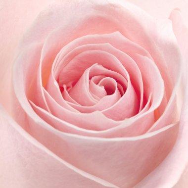 pink rose macro shot