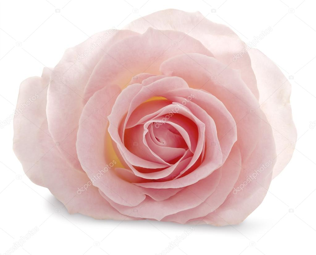 Pink rose on a white background with a soft shadow