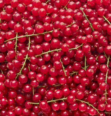 Background composite of fresh red currants