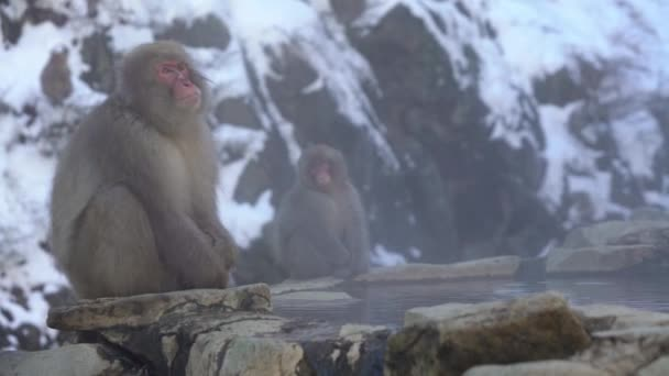 A híres hómajmok vizet isznak egy természetes onsen forrásban Nagano, Japán. Japán makákók szabadtéri fürdő a téli szezonban. Macaca fuscata ital a hegyekben-Dan