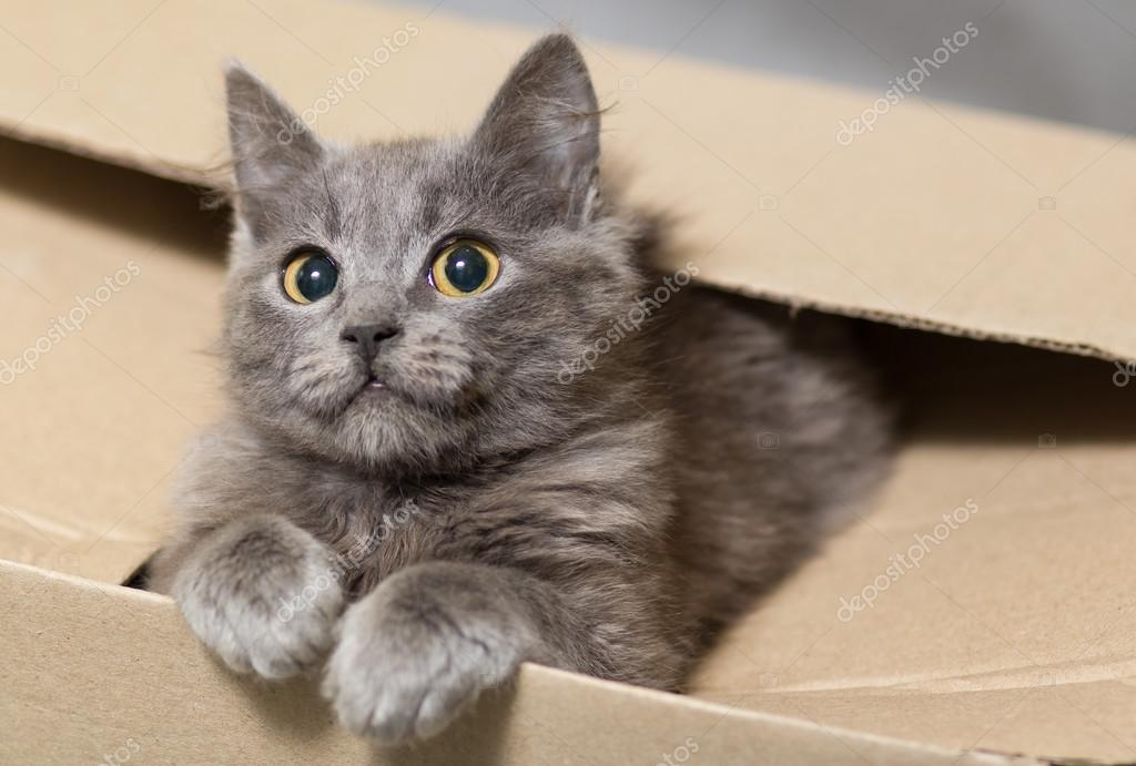Fluffy gray kitten with big eyes