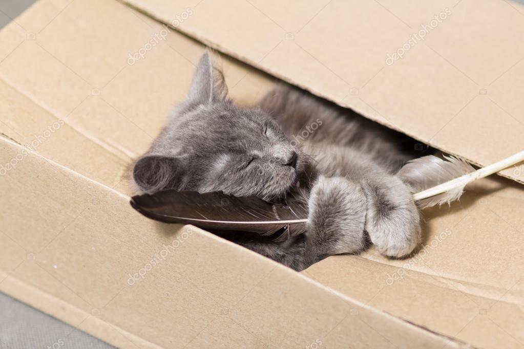 Fluffy gray kitten in a cardboard box holding a feather