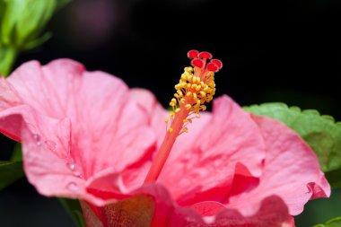 Hibiscus rosa-sinensis. MALVACEAE.