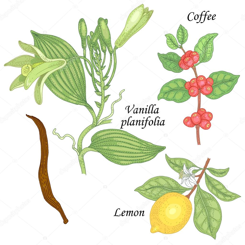 Plant Set - vanilla, lemon and coffee.