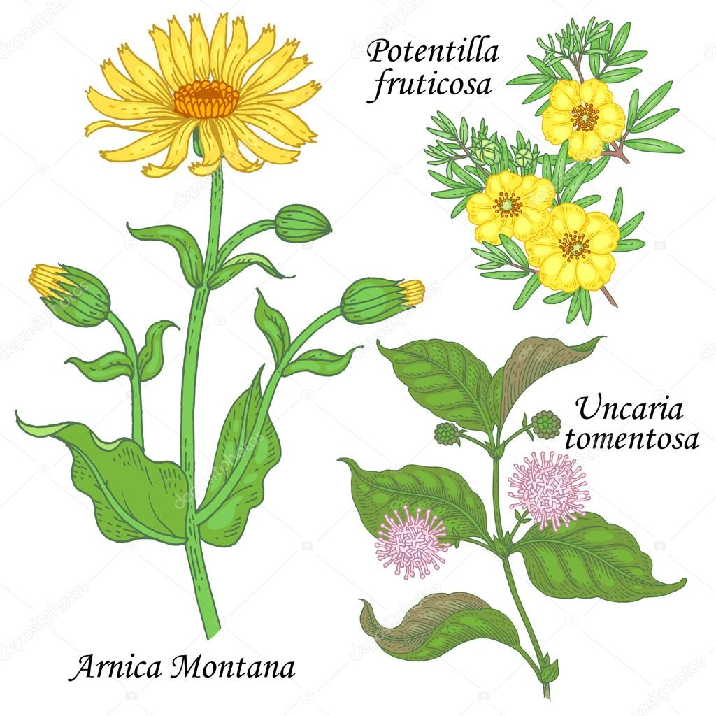 A set of medicinal plants - Arnica, potentilla, uncaria.