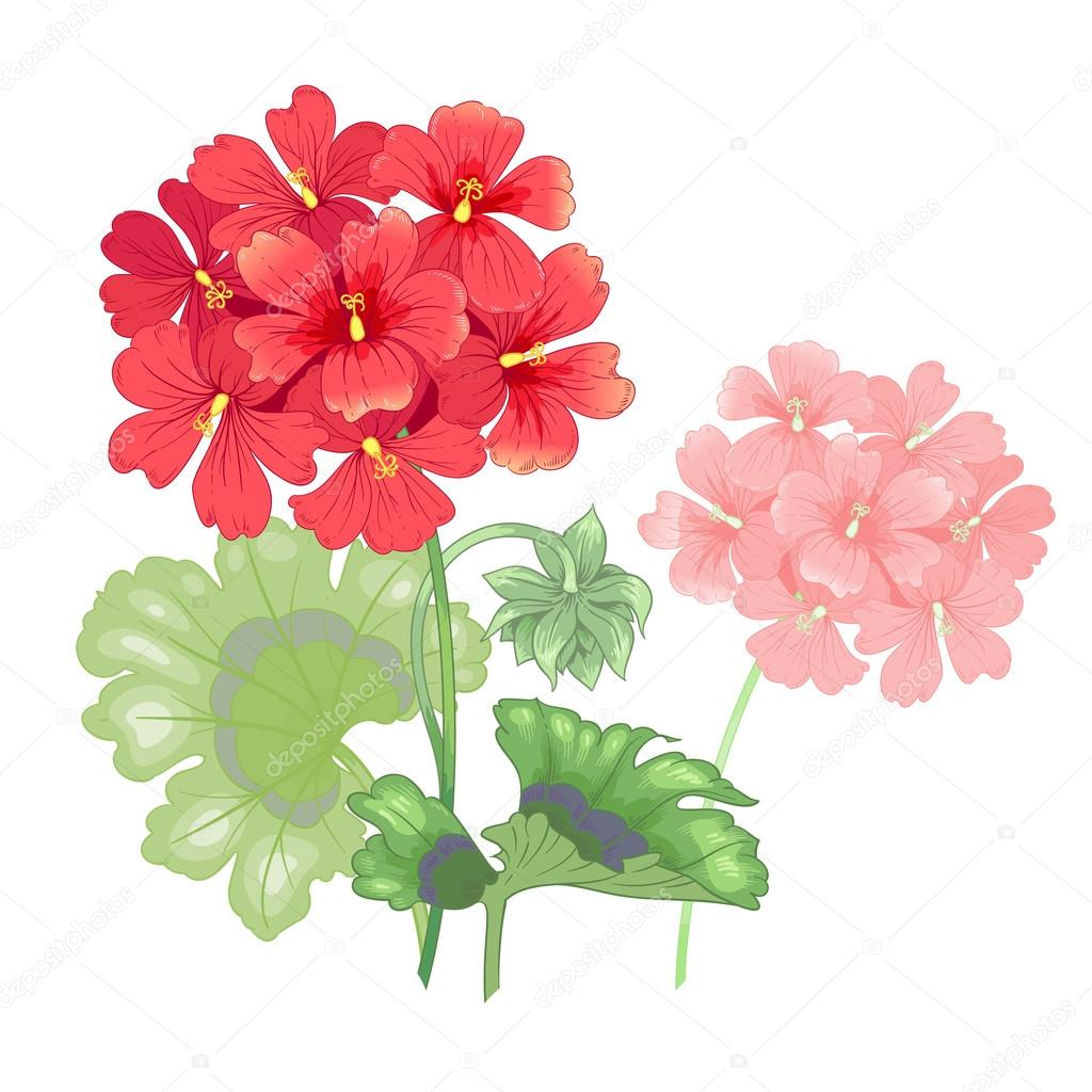 Isolated geranium flower on a white background. — Stock Vector ...