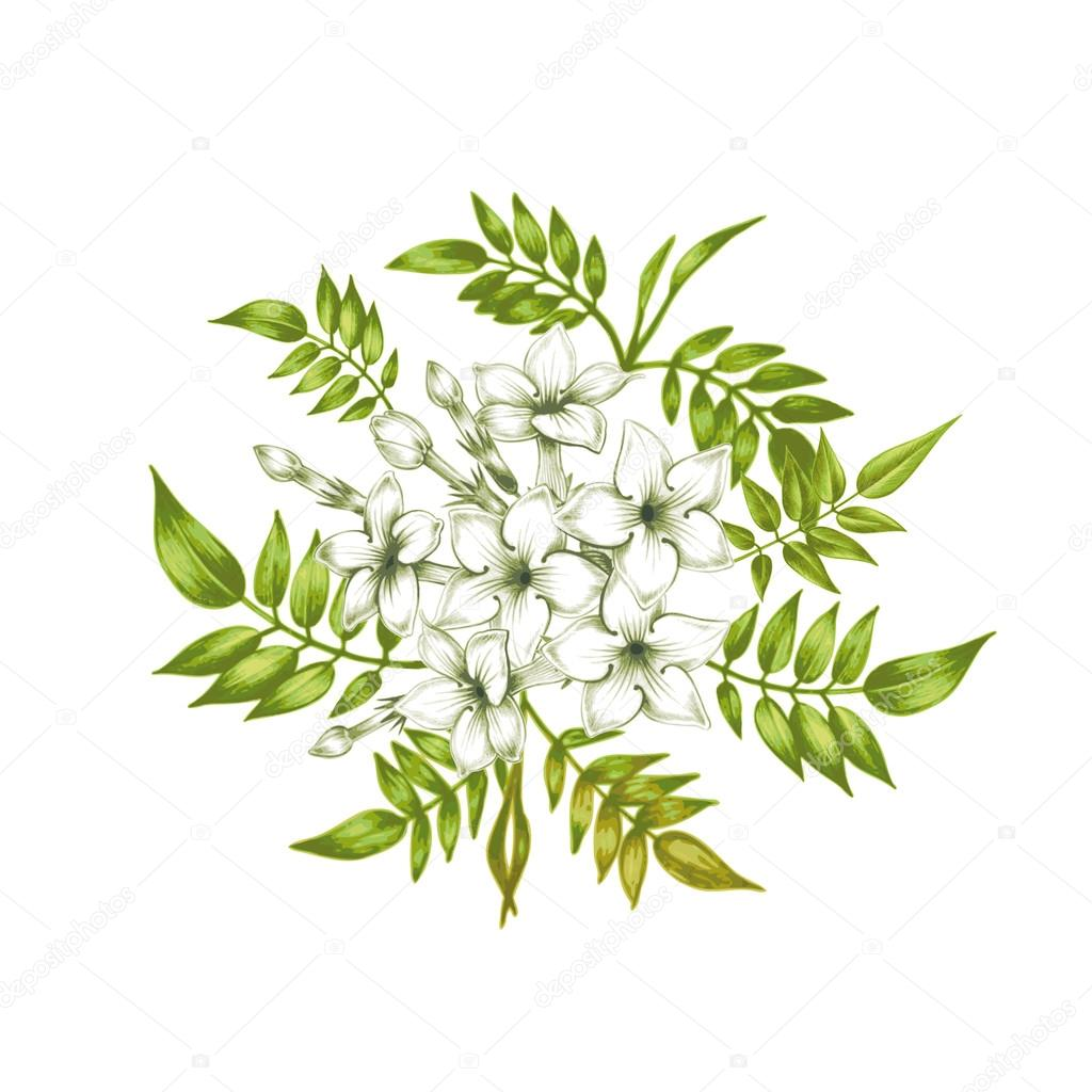 Vector jasmine flowers.