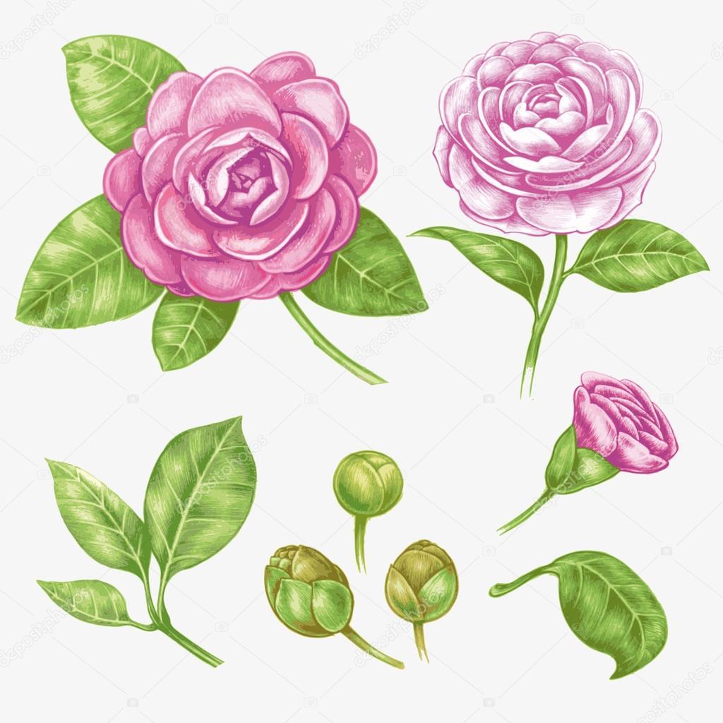 Vector  Camellia flower