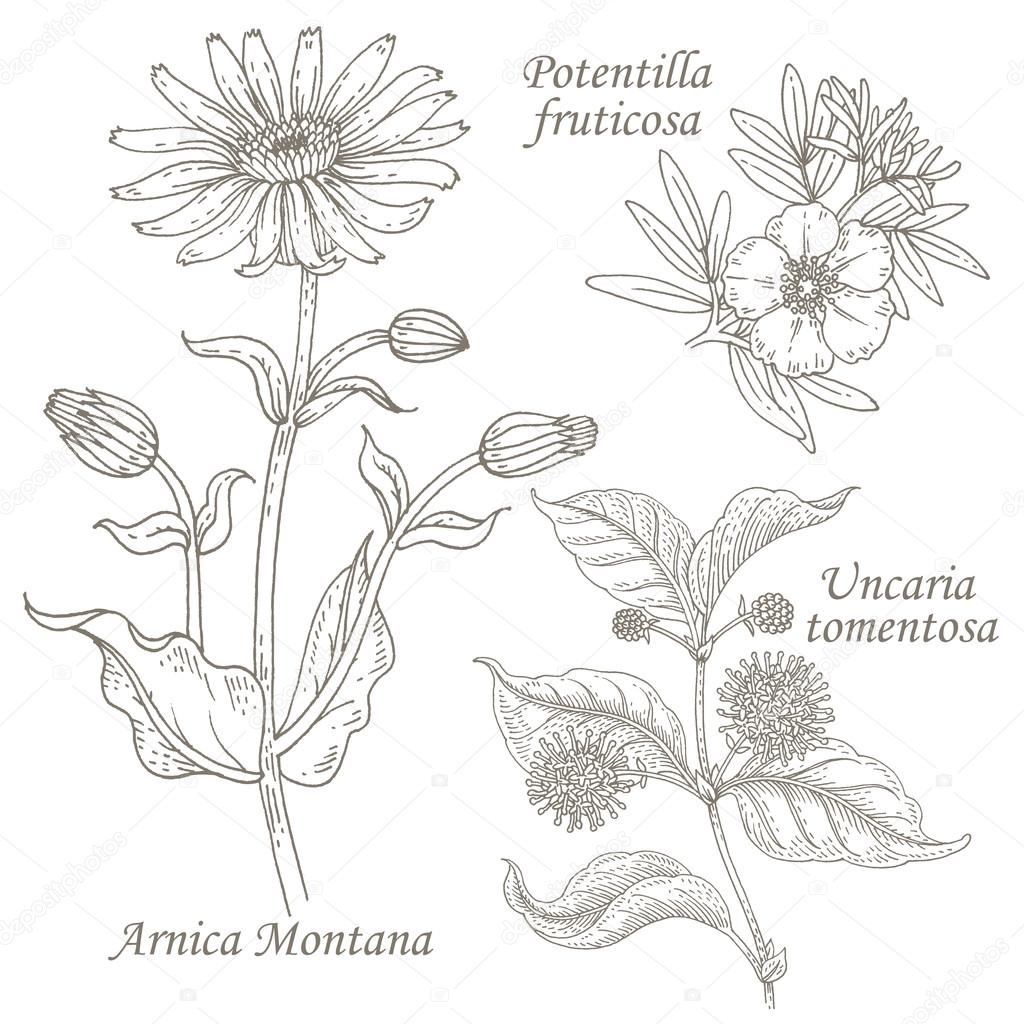 Illustration of medical herbs arnica, potentilla, uncaria.