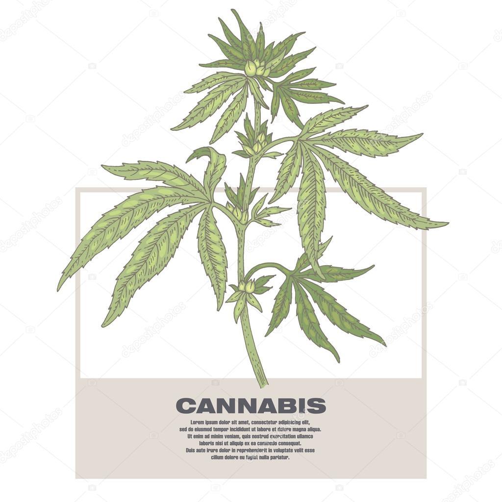 Illustration of medical herbs cannabis.