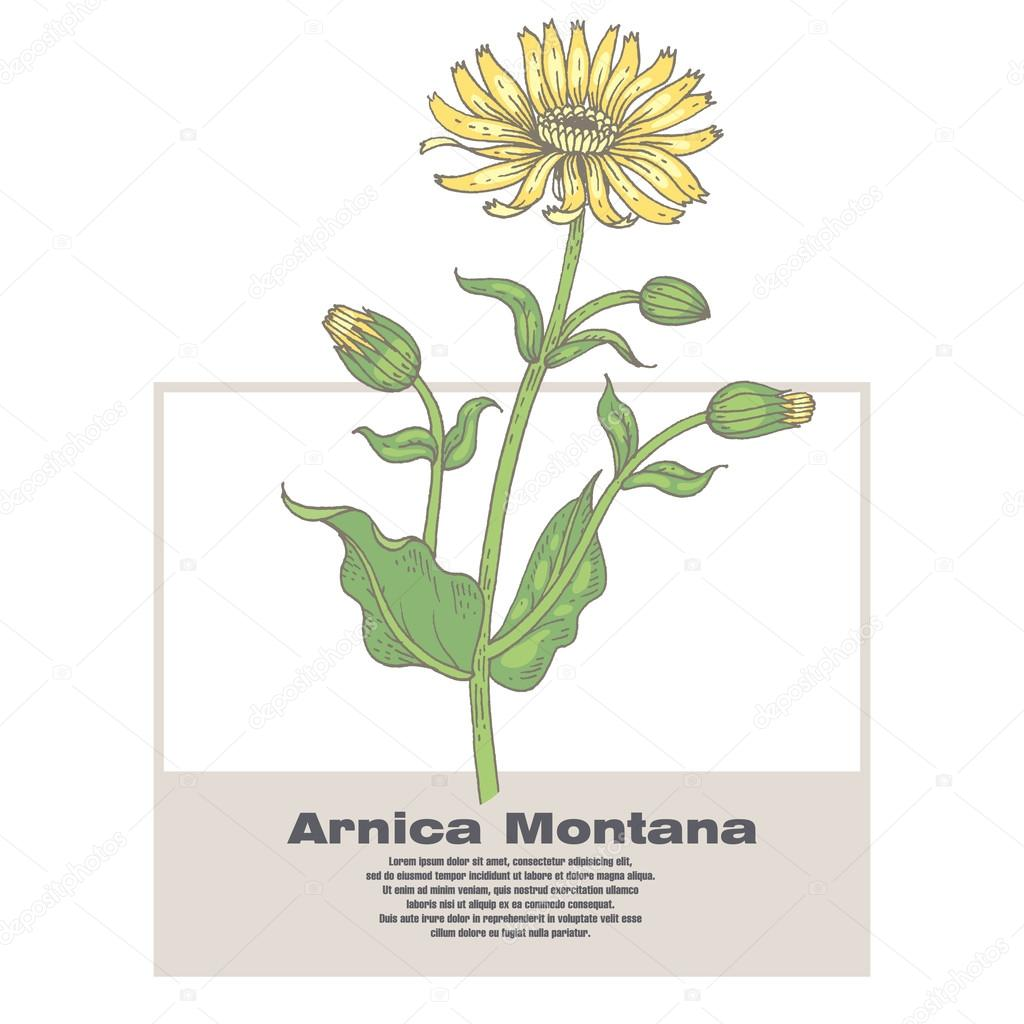 Illustration of medical herbs Arnica Montana.
