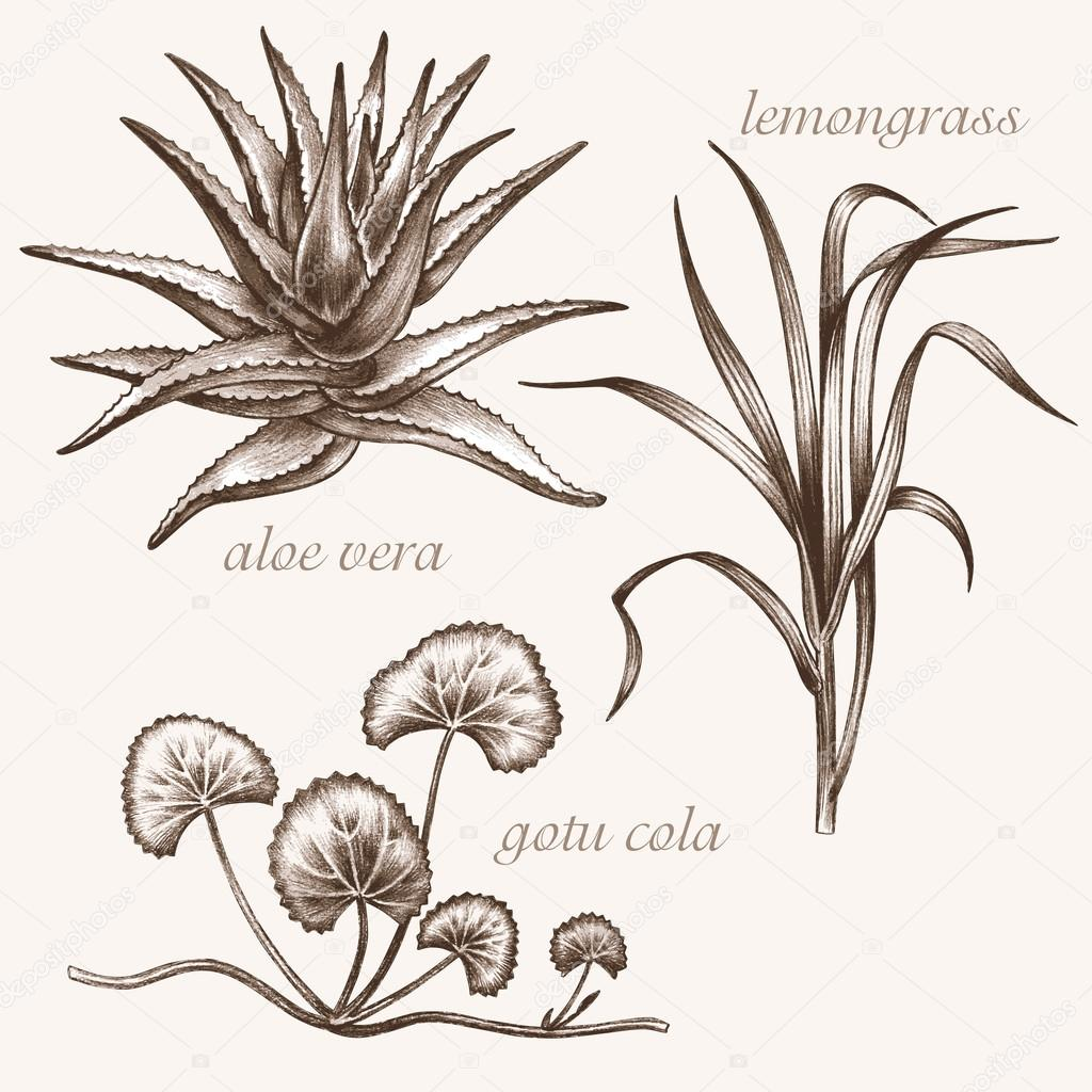 Set of medical herbs.