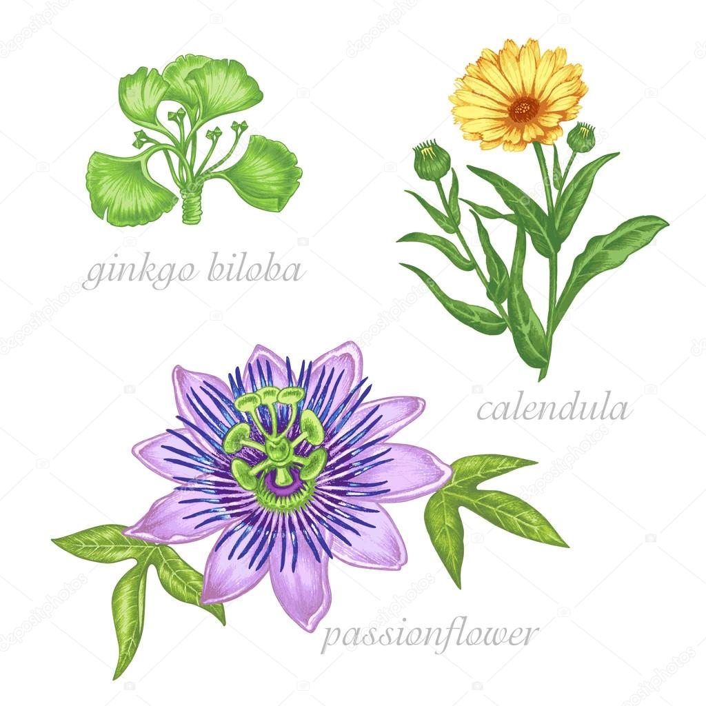 Medical herbs. Ginkgo biloba, passionflower, colendula. Set.