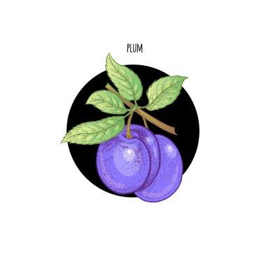 Colored vector illustration plum fruit.
