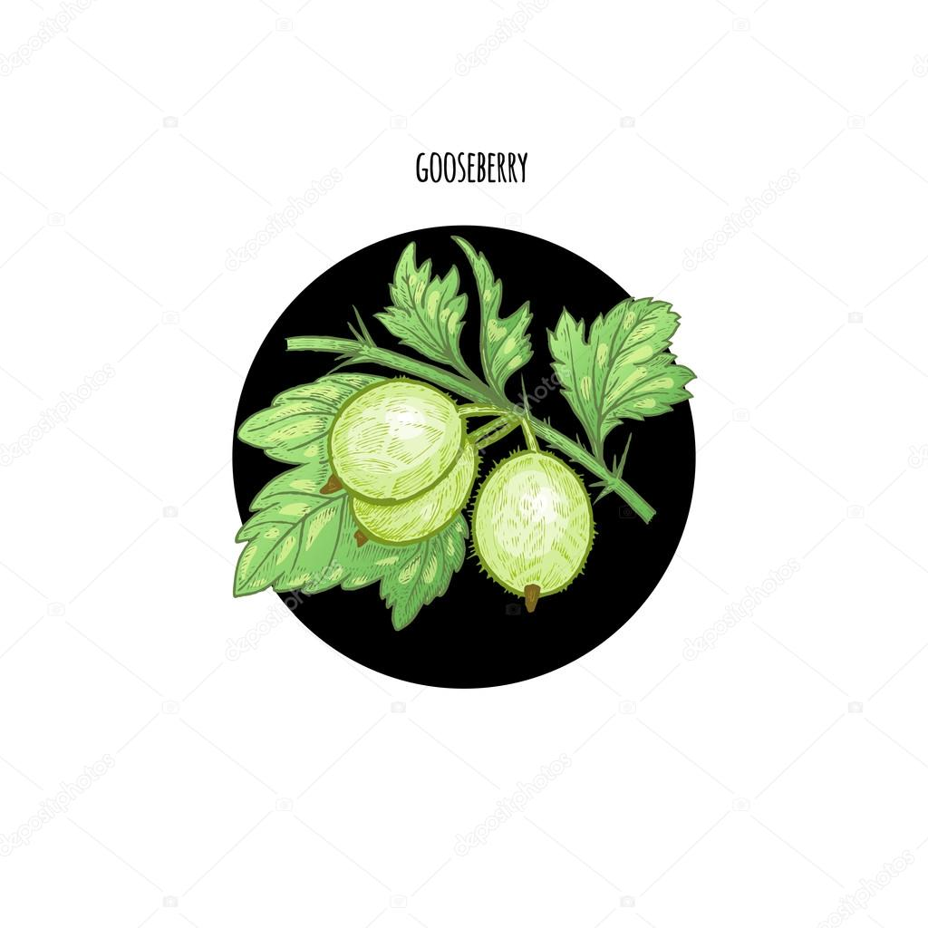 Colored vector illustration berry gooseberries.