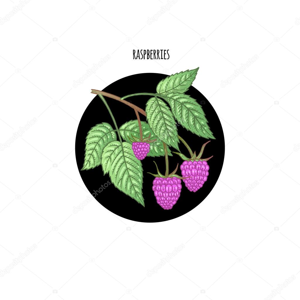 Colored vector illustration of raspberries.