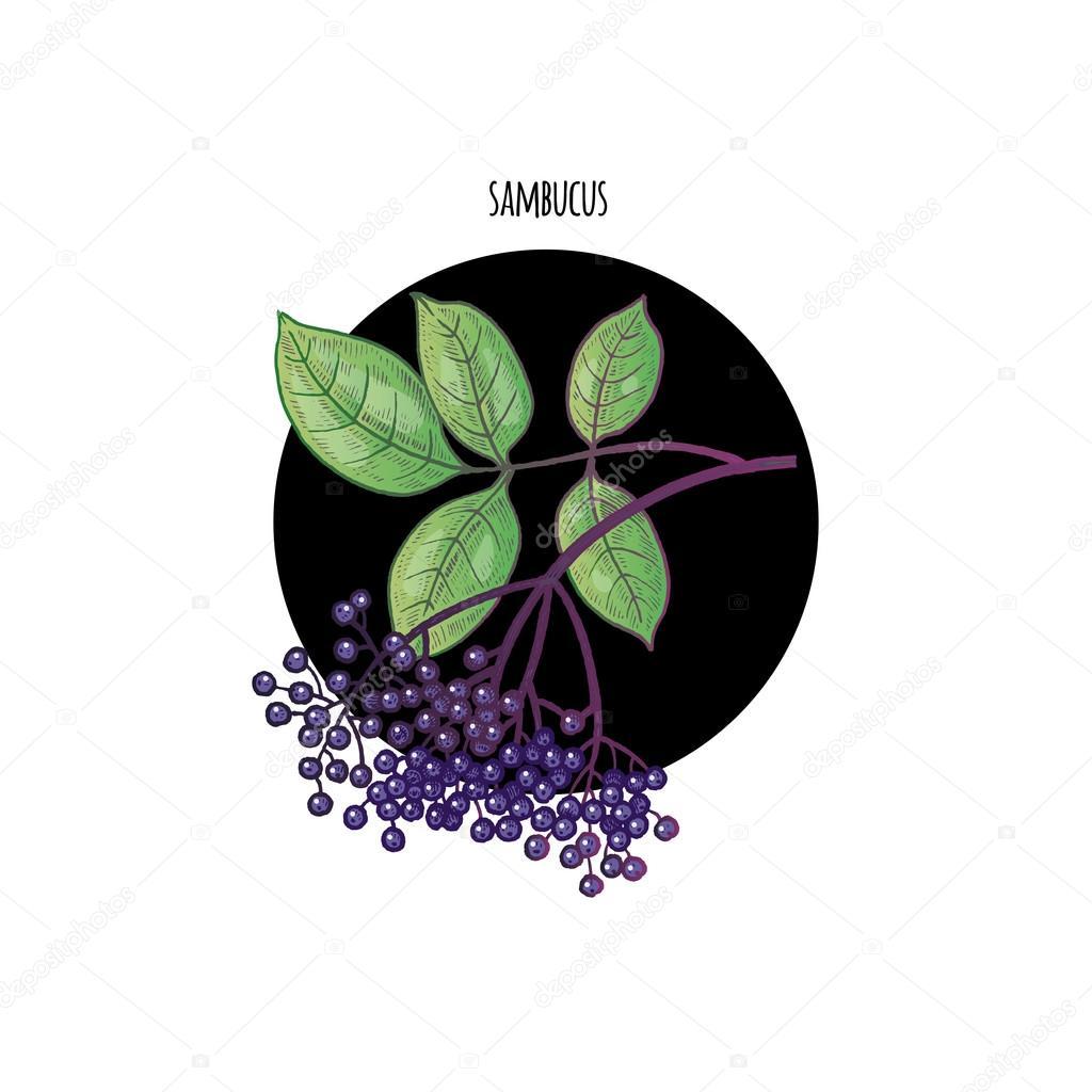 Image of plant Sambucus nigra