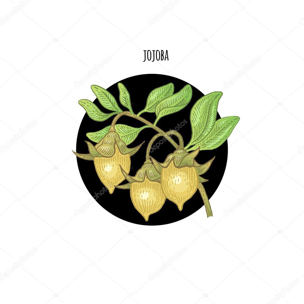 Image of plant Jojoba