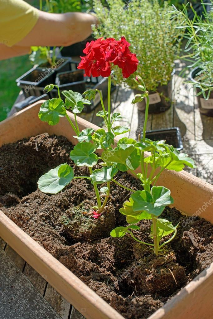 Donna uomo piantare i gerani per giardino estivo foto for Piantare un giardino