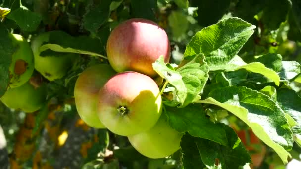 small apples in a tree