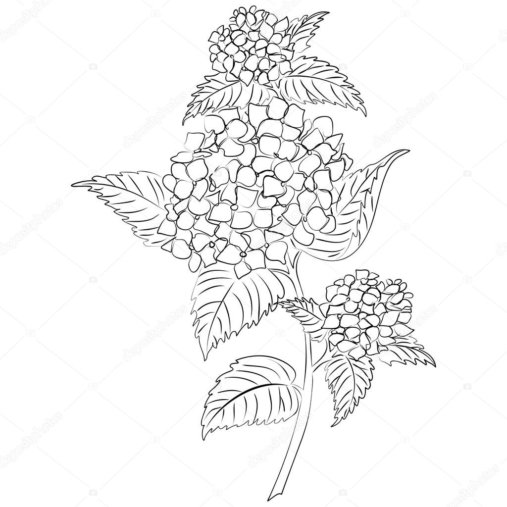 Flor De Hortensia Vector Tinta Dibujo Vector De Stock C Tiverets
