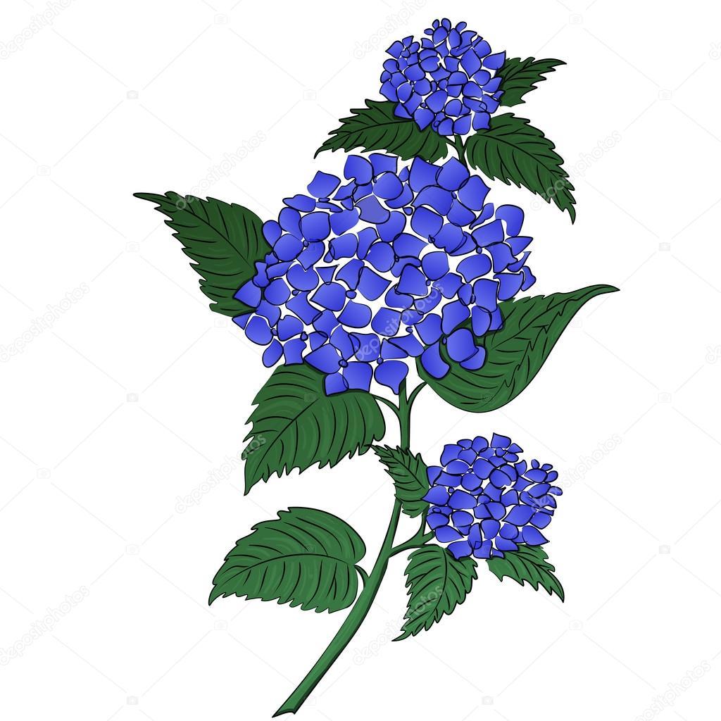 Flor De Hortensia Azul Archivo Imagenes Vectoriales C Tiverets