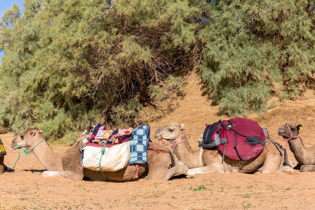 Camels with a load in Sahara desert