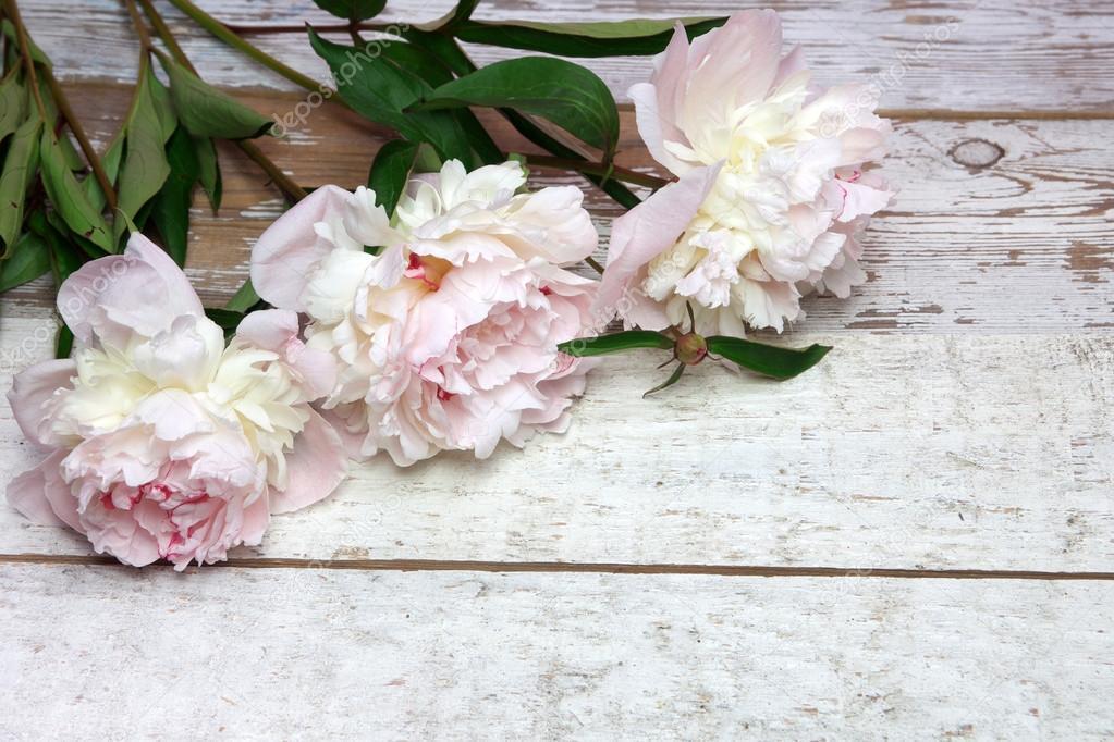 Stunning pink peonies on white rustic wood