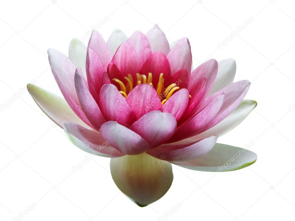 Flor De Loto Rosa Aislado En