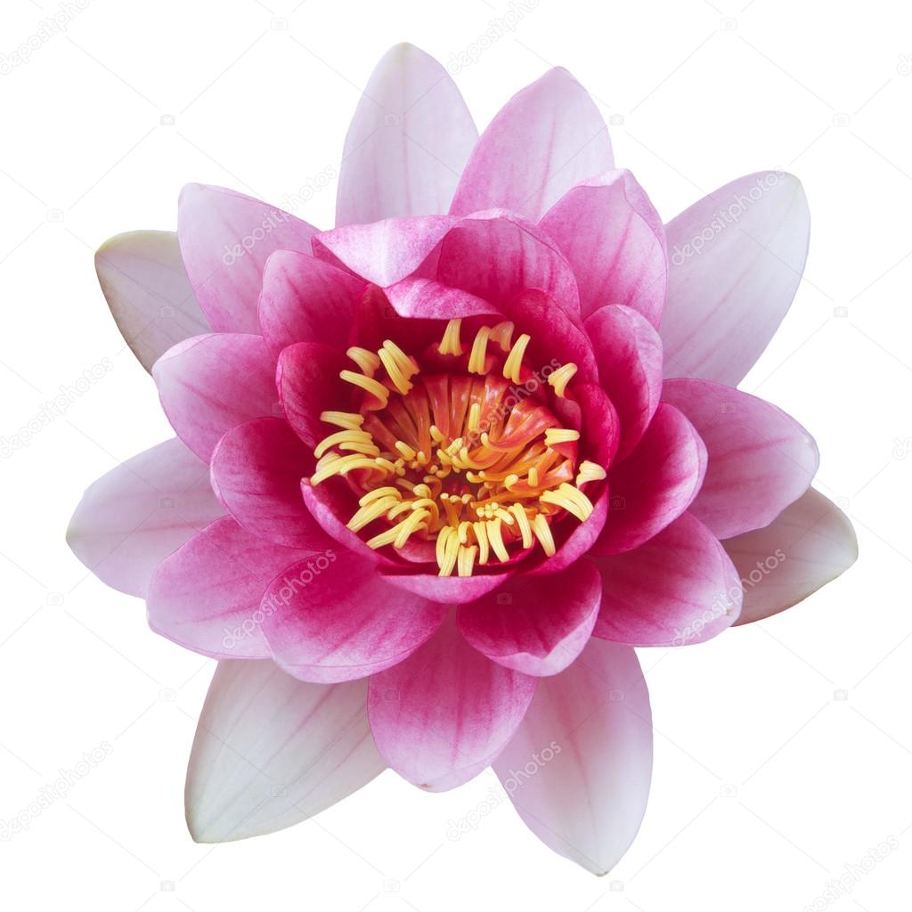 Pink Lotus Flower isolated on white — Stock Photo © vetre #80406008