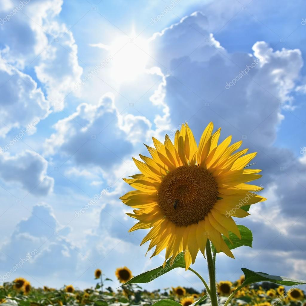 Sunflowers blooming in farm - field with blue sky and clouds ...