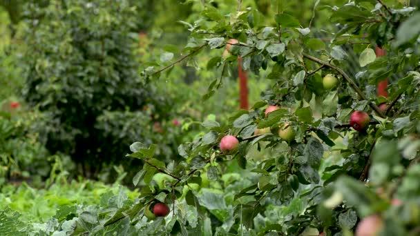 Dešťové kapky na jablka na větvičku.Dešťové kapky na jablka na větev během deště. Prší a kape na jablka visící na větvi