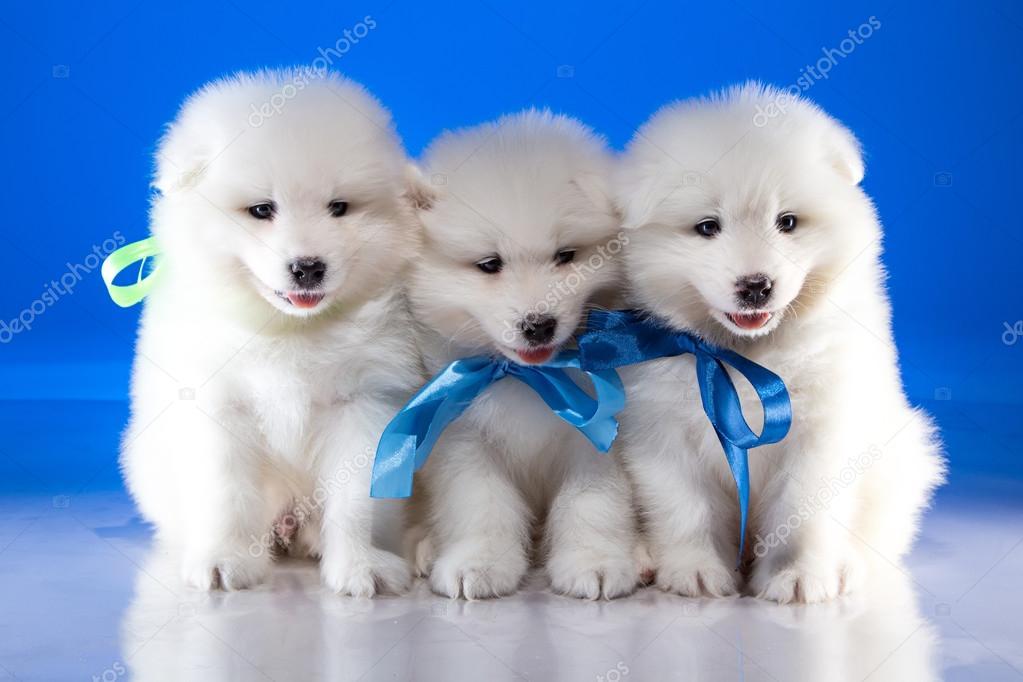 Pelosi Bianchi Cuccioli Del Cane Di Samoyedskaja Foto Stock