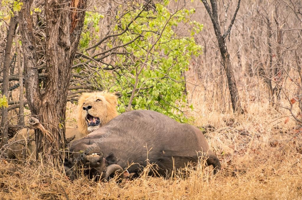 Lion ready to eat a buffalo after hunting in the bush woods in South Africa savannah - Concept of nature laws and wild food chain