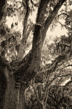 Live Oak Tree and Spanish Moss in Sepia